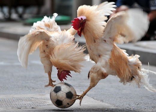 Two cocks fight for a ball during a cock soccer match show in Shenyang, northeast China's Liaoning province on July 8, 2010.  Acting as a referee, Chinese resident Zhang Lijun (not pictured) directs her cocks during football games as she has started training her two cocks to play football since 2007.      CHINA OUT  /  AFP PHOTO
