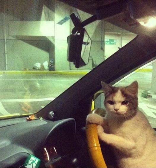 Cat Driver Car